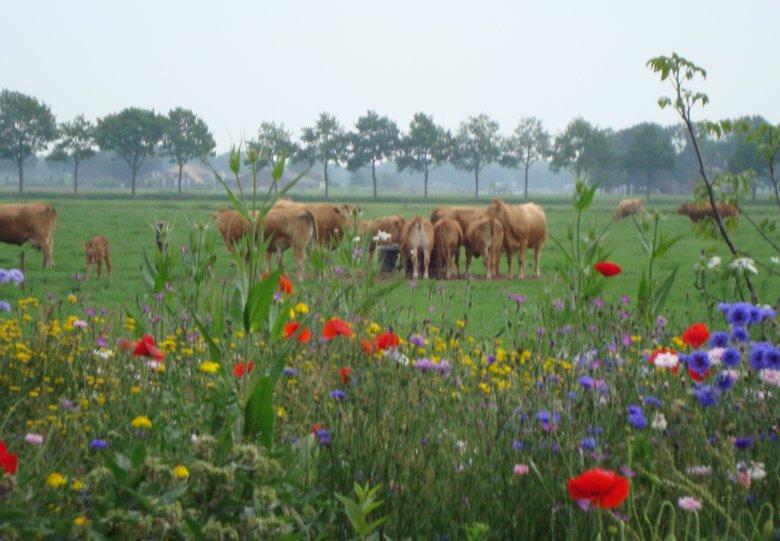 Excursie Limousin runderen