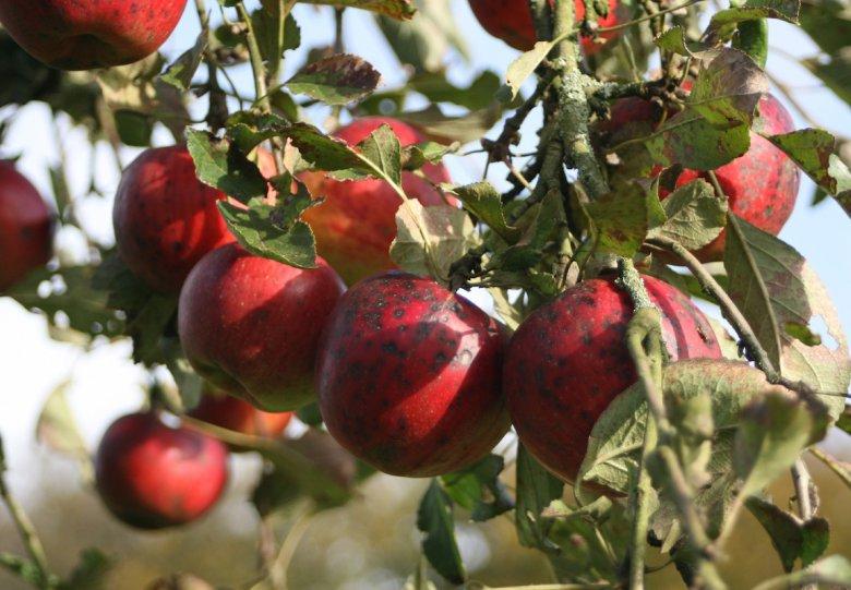 Appelspeutocht