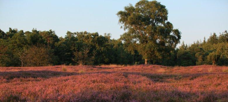 Wandeling paarse pracht, Loenermark