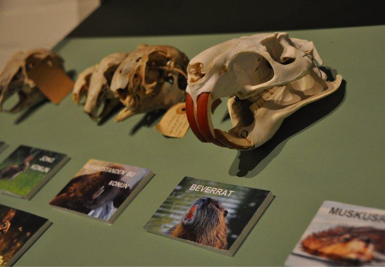 """Nu in het Natuurmuseum Holterberg """"Expositie schedels en botten"""""""