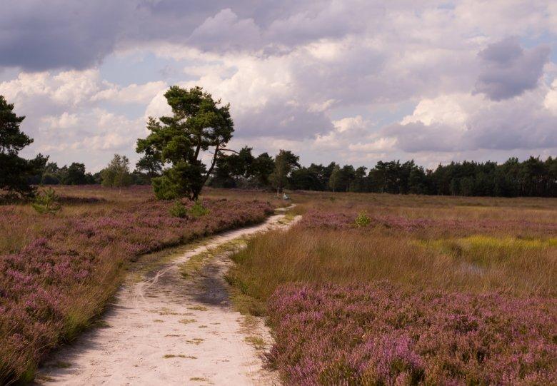Bloeiende heidewandeling Tongerense Heide